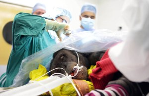 First chimpanzees to have their hearts monitored in the UK