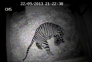 first tiger cub for 17